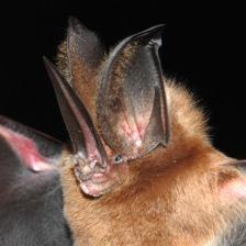 Lonchorrhina orinocencis