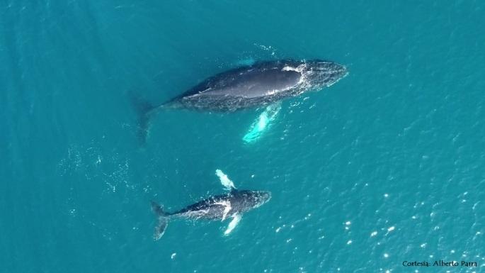 Humpback whale Gorgona A_Parra